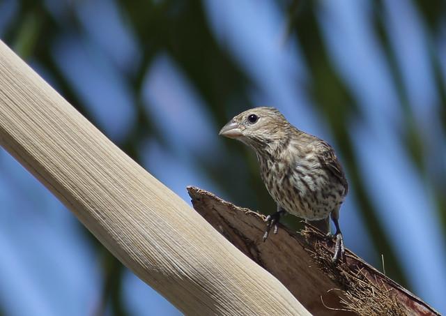 1DX17901 View large. Female House Finch. Backyard Corona, California