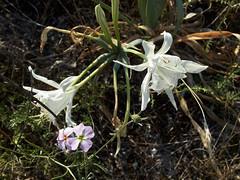 Azucena de mar (Pancratium maritimum)