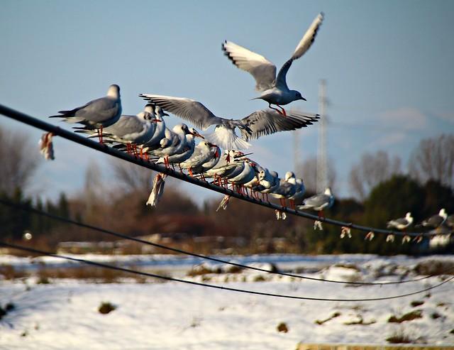 Gaviotas exiliadas en la nieve