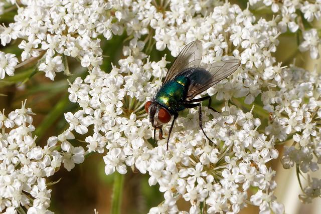 Fliege auf Wilder Möhre / Fly on Wild carrot
