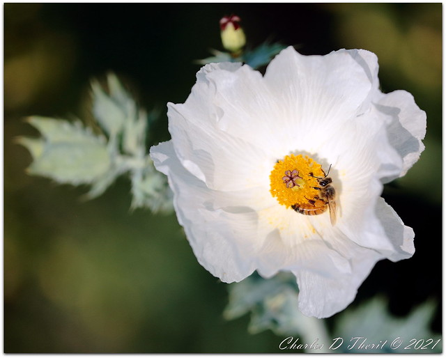 Honey of a Poppy