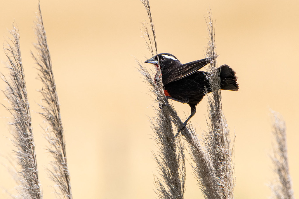 Pecho colorado - White-browed blackbird