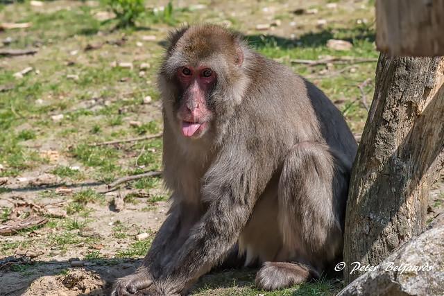 Japanse makaak, dierenpark Amersfoort