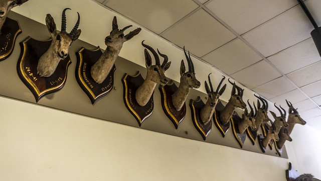 Gazelles shoulder mount taxidermy at the Royal taxidermy