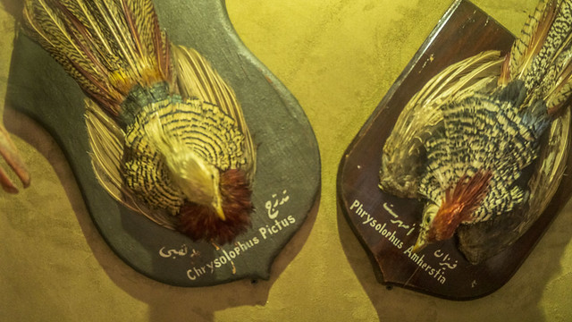 Golden pheasant and Lady Amherst's pheasant should mounts taxidermy