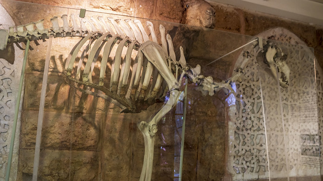 A camel skeleton at Mohamed Ali Taxidermy Museum in Cairo