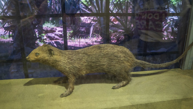 Egyptian mongoose at Mohamed Ali Taxidermy Museum in Cairo