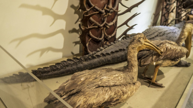 ِA pelican taxidermy at Mohamed Ali taxidermy museum in Cairo