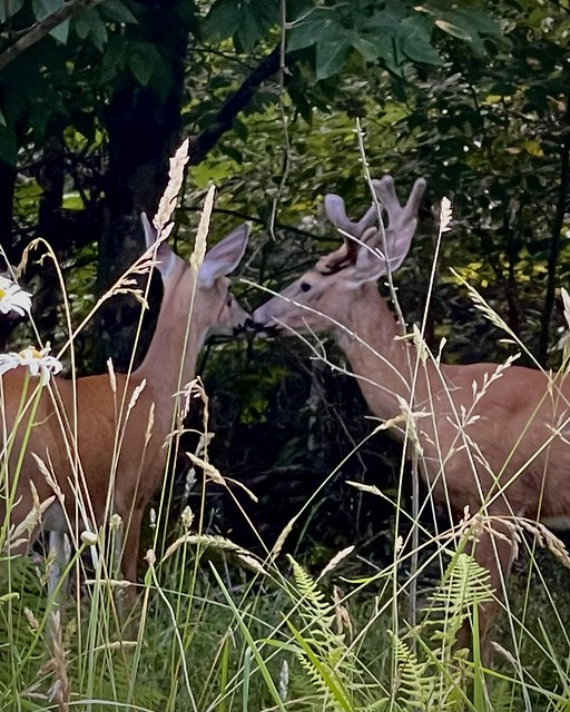 Intimate Moment for a Stag and a Doe (Odocoileus virginianus)