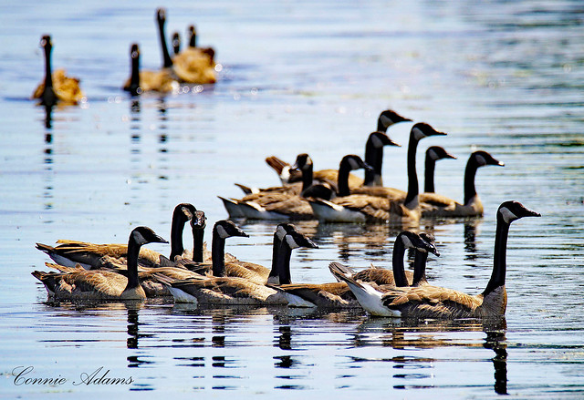 Geese in Green Bay