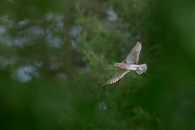 Numenius arquata   Eurasian Curlew   storspov