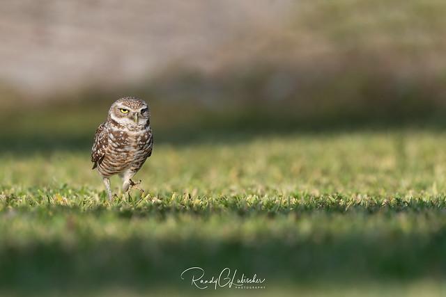 Burrowing Owl | Athene cunicularia | 2021 - 20