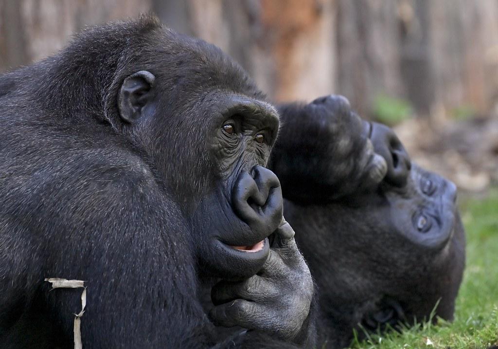 Westliche Flachland Gorillas;