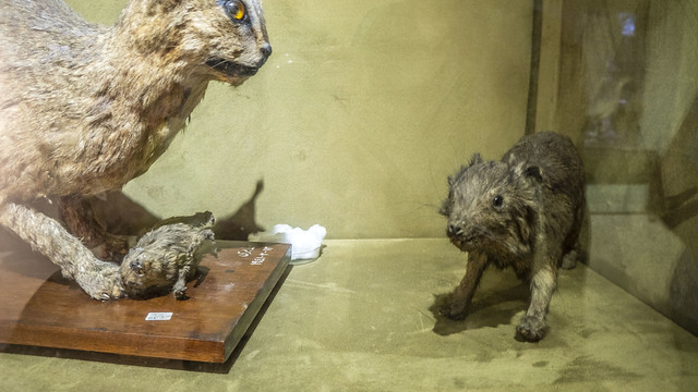 A rodent taxidermy at Mohamed Ali taxidermy Museum
