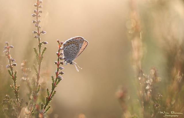 Feel The Summer (Heideblauwtje - Silver-studded blue)