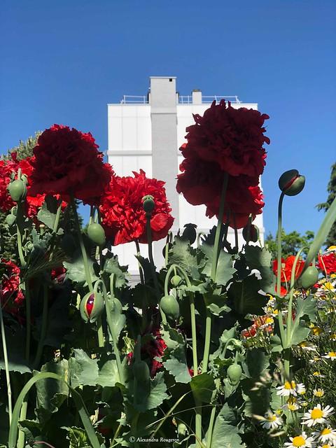 fleurs-rouge-urbaine©