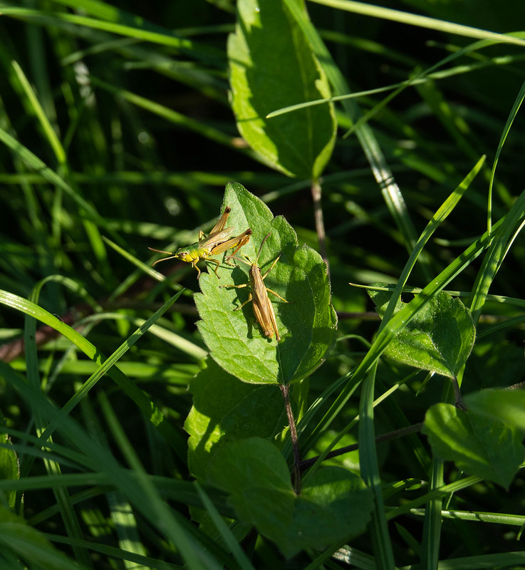 Grasshoppers on Pewley Down