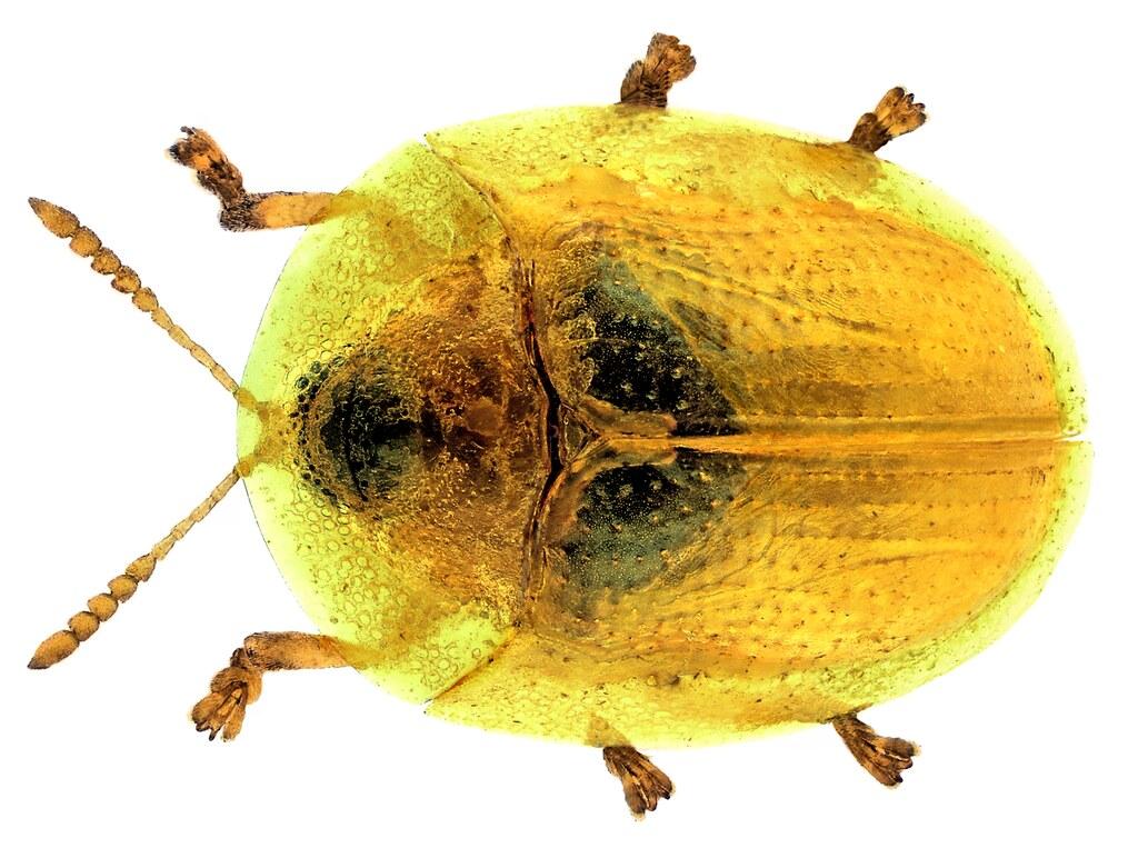 Cassida margaritacea Schaller, 1783
