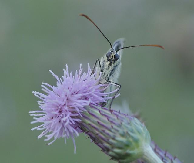 Marbled White Butterfly - Melanargia galathea