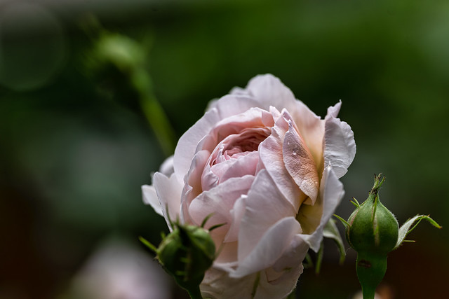 Just a rose