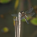 Four Spotted Chaser6