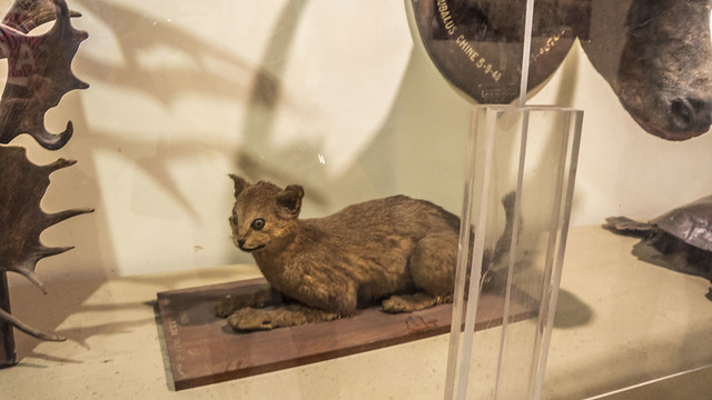 A wild cat taxidermy at Mohamed Ali taxidermy museum in Cairo