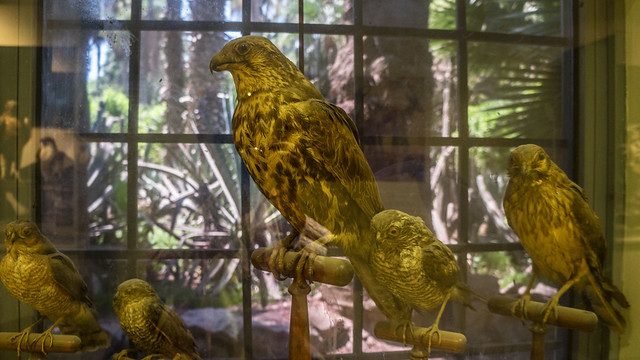 A collection of hawks taxidermy at Mohamed Ali taxidermy museum