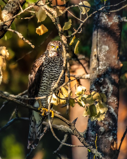 Accipiter gentilis  Northern Goshawk.The concentration and evil look of this prey bird is fascinating