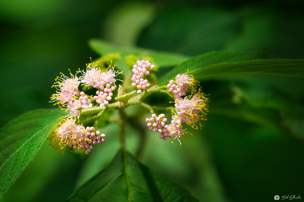 Blooms on American Beautyberry