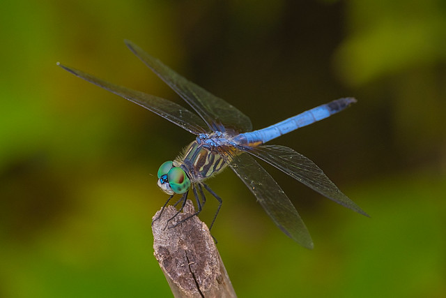 Blue Dasher - Explore July 23/21 #91