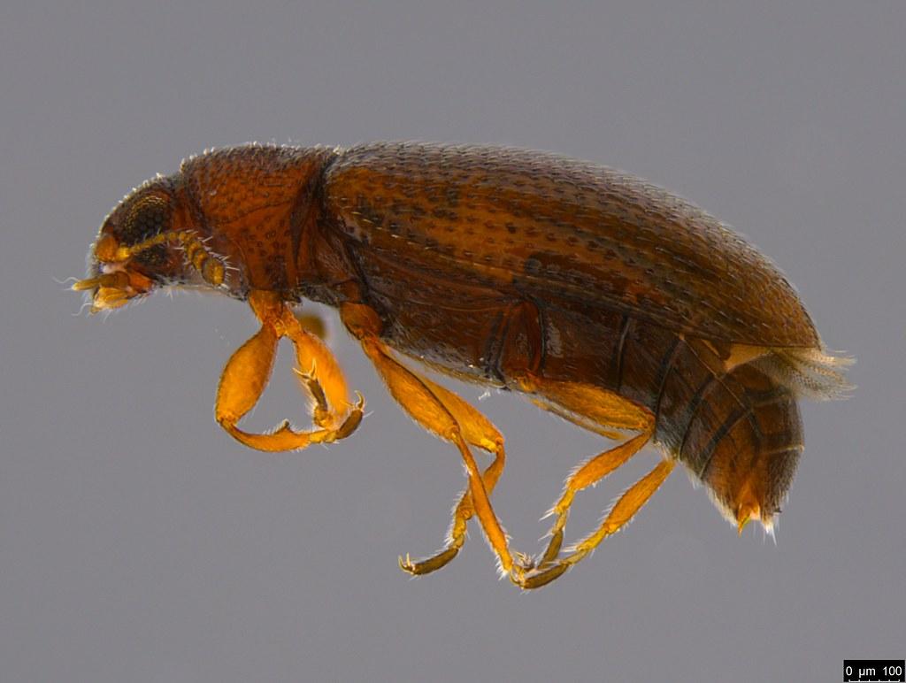 5a - Corticariinae sp.