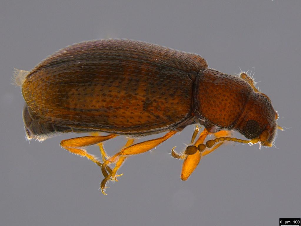 5b - Corticariinae sp.