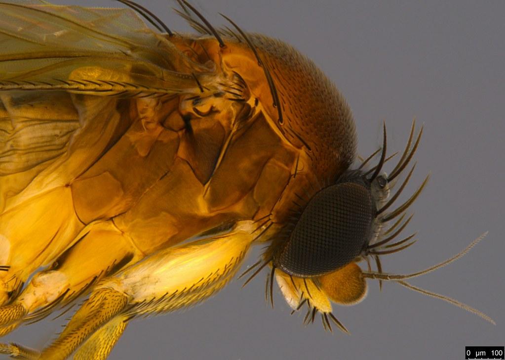 9b - Phoridae sp.