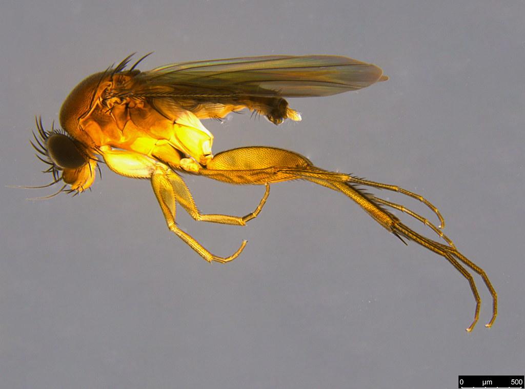 10a - Phoridae sp.