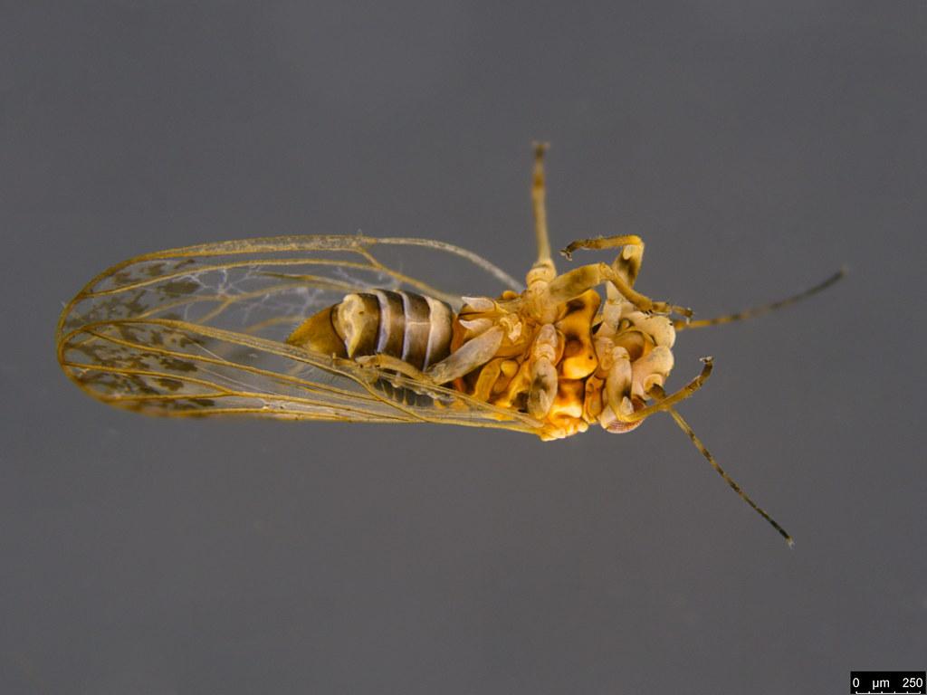12c - Acizzia sp.