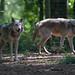 Eurasian Wolves, New Forest Wildlife Park, Ashurst, Hampshire, UK