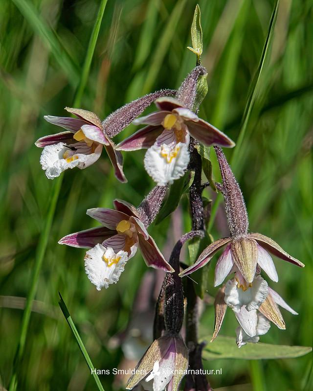 Moeraswespenorchis (Epipactis palustris)-850_4485