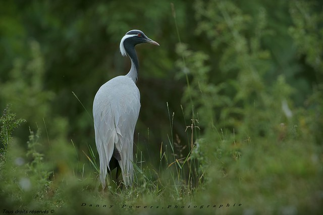 Grue Demoiselle, Demoiselle crane