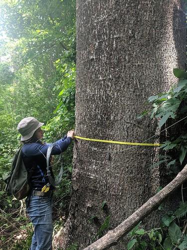Fri, 07/23/2021 - 09:05 - Maria Fernanda Obando Picado measures the diameter of a Guanacaste tree (Enterolobium cyclocarpum) - namesake of the Guanacaste province of Costa Rica.