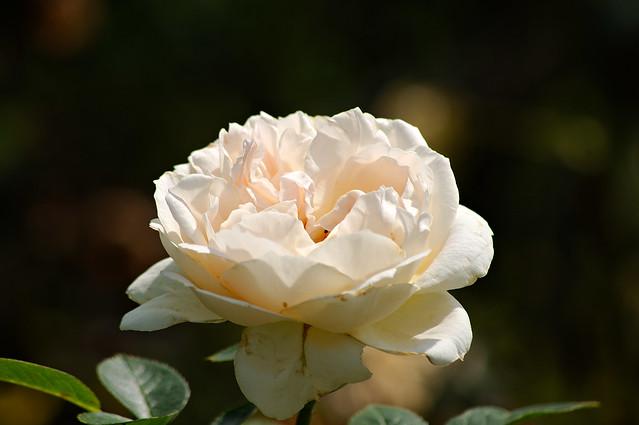 Roses du jardin la Roseraie