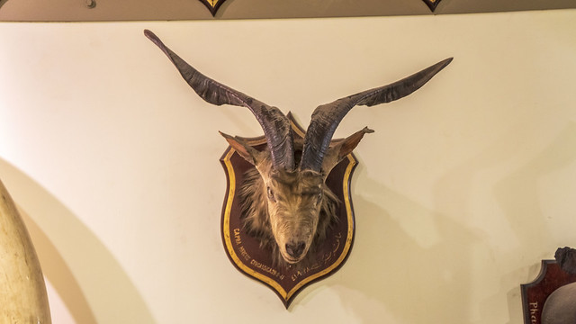 A Capra hircus goat shoulder mount taxidermy at Mohamed Ali taxidermy museum