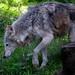 Eurasian Wolf, New Forest Wildlife Park, Ashurst, Hampshire, UK