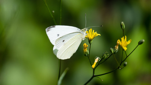 Summer butterfly: small white