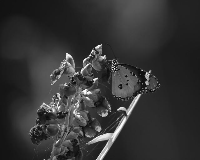 蝴蝶+水竹芋