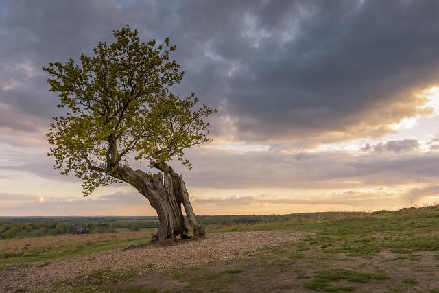 Weathered Oak Tree Sunset