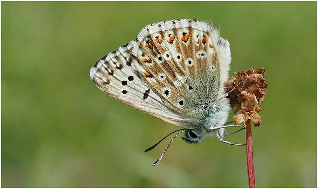 Chalk-hill Blue (Lysandra coridon)..