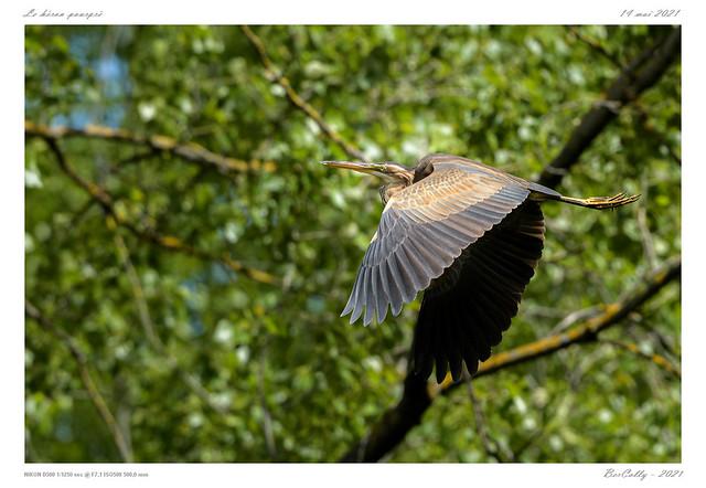 Le héron pourpré | Purple heron