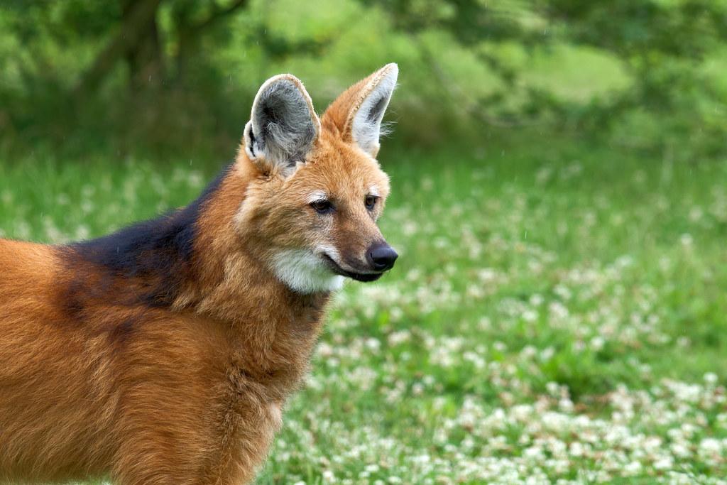Maned Wolf - Chrysocyon brachyurus