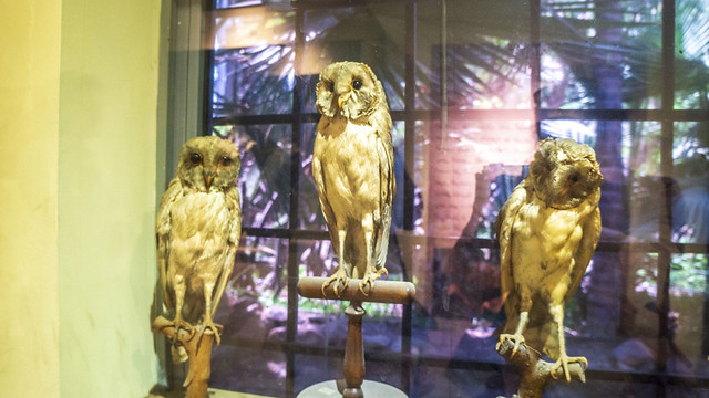 Owls taxidermy at Mohamed Ali taxidermy museum