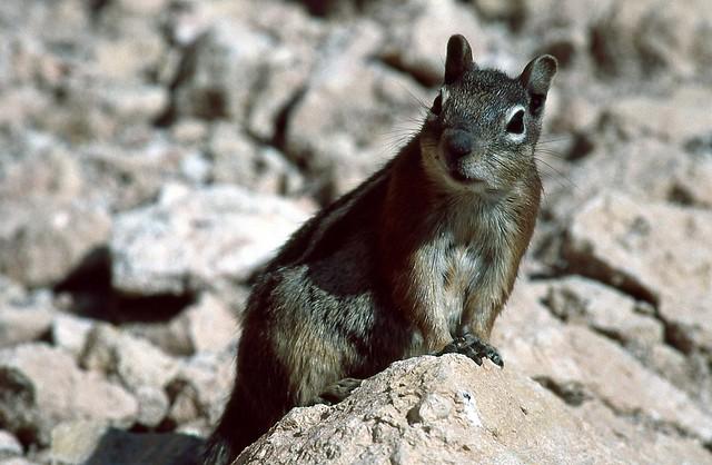 Écureuil terrestre doré